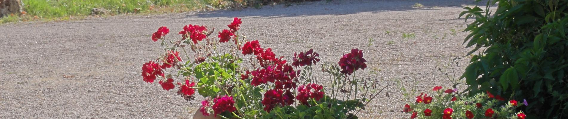 geraniums bij grindpad