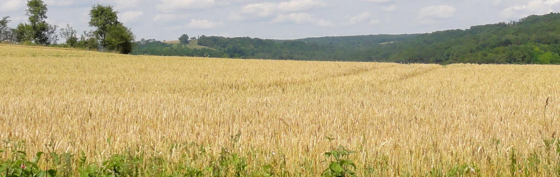 geel korenveld tegen de heuvels