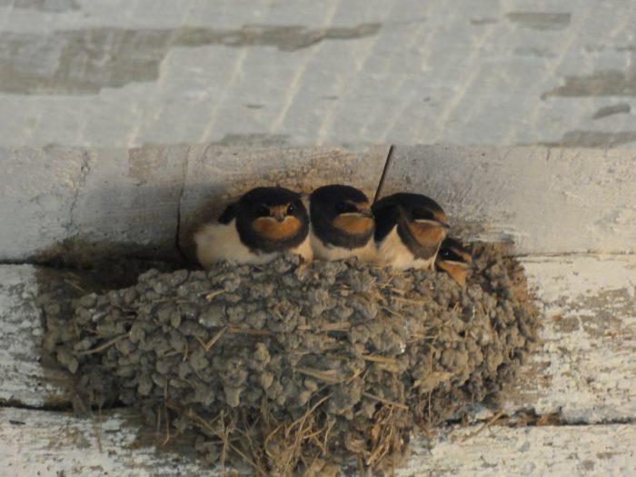 jonge-zwaluwen in nest tegen plafond